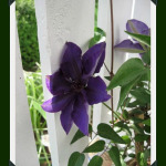 FRIDAY FLOWERS: CLEMATIS