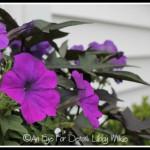 FRIDAY FLOWERS: PETUNIAS