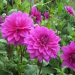 FRIDAY FLOWERS: DAHLIAS IN ENGLAND
