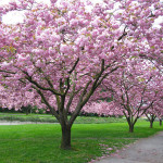 WHICH CHERRY TREE?