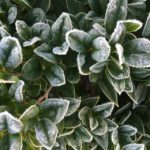 FRIDAY FLOWERS: HELPING PLANTS SURVIVE THE COLD