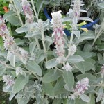 FRIDAY FLOWERS: SILVER IN THE GARDEN