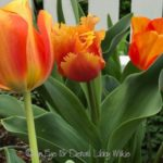 THE TULIPS: ALL IS WELL!!