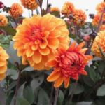 FRIDAY FLOWERS: DAHLIA NEWS