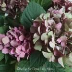 FRIDAY FLOWERS: CARING FOR CUT HYDRANGEAS
