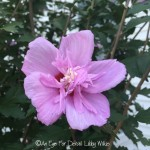 FRIDAY FLOWERS: ROSE OF SHARON
