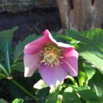 FRIDAY FLOWERS: TIME FOR THE HELLEBORES