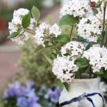 FRIDAY FLOWERS: VIBURNUMS