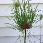 FRIDAY FLOWERS: HAIR ALLIUM