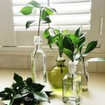FRIDAY FLOWERS: GROWING GARDENIAS FROM CUTTINGS